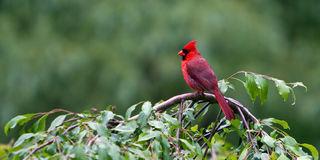 Perched Northern Red Cardinal. Northern Red Cardinal, male, North America`s most colorful bird, perched on a backyard crabapple tree royalty free stock images
