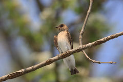 Perched northern rough-winged swallow. Northern Rough-winged Swallow sits on a branch peering over the landscape. the blue sky, leaf greens and soft browns of stock photo