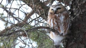 Perched Northern Saw Whet Owl, Aegolius acadicus