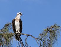 Perched osprey. An osprey surveys the beach from a favourite perch Royalty Free Stock Photo