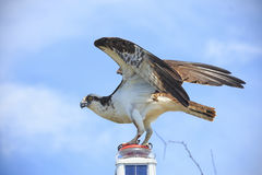 Free Perched Osprey Royalty Free Stock Image - 98477046