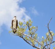 Perched Osprey Royalty Free Stock Photos