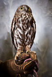 Perched Owl Stock Photography