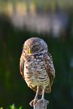 Owl perched on wood. Royalty Free Stock Photography