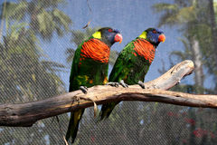 Perched Pair. A pair of lorikeets perched in an aviary Royalty Free Stock Photo