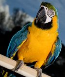 Perched parrot Stock Images