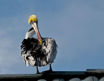 Perched pelican. A view of a pelican with ruffled, black and white feathers, perched on a rooftop or wooden railing with blue sky in the background and cleans Stock Image