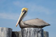 Perched Pelican Royalty Free Stock Photo