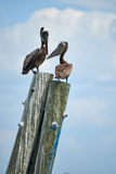 Perched pelicans. Brown pelicans on a pier waiting for fishermen royalty free stock photography