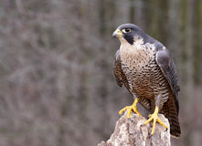 Perched Peregrine Falcon Stock Photos