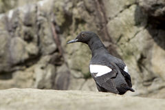 Perched pigeon Guillemot Stock Image