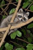 Perched Racoon. In branches in Guadeloupe Royalty Free Stock Photo