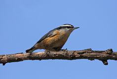 Perched Red-breasted Nuthatch Stock Image