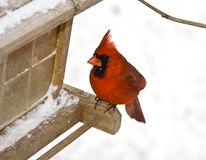 Perched Red Cardinal Royalty Free Stock Photo