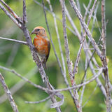 Perched Red Crossbill. Male Red Crossbill perched on a dead branch Royalty Free Stock Images