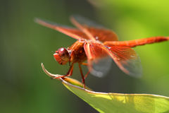 Perched Red Dragon. Red Skimmer Dragonfly perched on a ginger leaf Royalty Free Stock Photos
