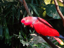 Perched Red Parrot. A perched Eclectus Parrot on a branch inside a Forest Aviary stock photo