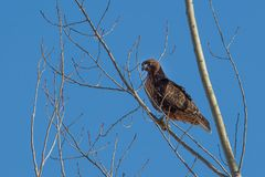 Perched red tailed hawk against blue sky. Royalty Free Stock Photography