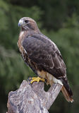 Perched Red-tailed Hawk Royalty Free Stock Photos