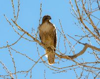Perched Red Tailed Hawk Royalty Free Stock Photography