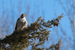 Perched red tailed hawk. Royalty Free Stock Image