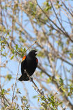 Perched red winged black bird. Royalty Free Stock Photo