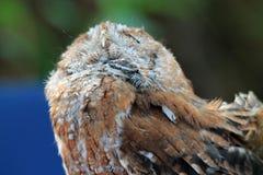 Perched rescató los ojos del búho cerrados Fotografía de archivo