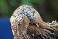 Perched rescued owl eyes closed Stock Photography