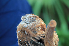 Perched rescued owl eyes closed Royalty Free Stock Photo