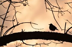 Robin silhouette infront of sunset stock photo