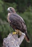 Perched Rosso-ha munito il falco di coda Fotografie Stock Libere da Diritti