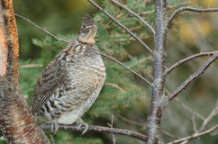 Perched Ruffed grouse Royalty Free Stock Image