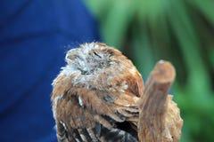 Perched salvou os olhos da coruja fechados Foto de Stock Royalty Free