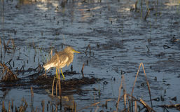 Perched Sandpiper Royalty Free Stock Photos