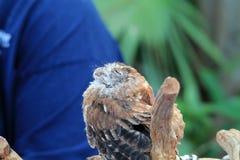 Perched a sauvé des yeux de hibou fermés Images libres de droits