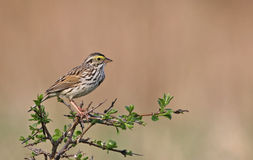 Perched Savannah Sparrow Stock Images