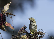 Perched Savannah Sparrow. Savannah Sparrow sitting atop pokeweed plant in autumn Stock Photo