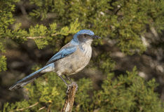 Perched Scrub Jay Stock Images