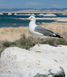 Perched Seagull Stock Photography