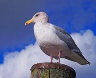Seagull on a perch Stock Images