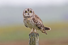 Perched Short-eared Owl, Asio flammeus Stock Images