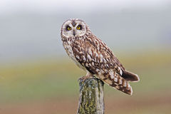 Perched Short-eared Owl, Asio flammeus, from the moors of Orkney Stock Images