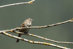 Perched song sparrow. Small song sparrow is perched on a branch near Harrison, Idaho Stock Photos