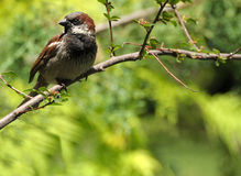 Perched Sparrow. An intense sparrow perched in the bushes ... the more common can be just as beautiful ... shallow DOF Royalty Free Stock Image