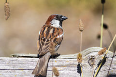 Perched Sparrow. Back + turned head view of a sparrow perched on a dead log Stock Image