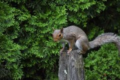 Free Perched Squirrel On Fence Post Stock Images - 188572194