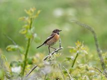A Perched Stone Chat. A Stone Chat perched on a twig royalty free stock photo