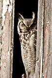 perched stor horned owl royaltyfri fotografi