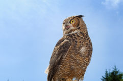 Perched stor Horned Owl Arkivbilder