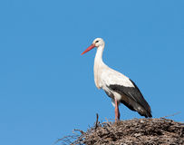 perched storkwhite Arkivbilder